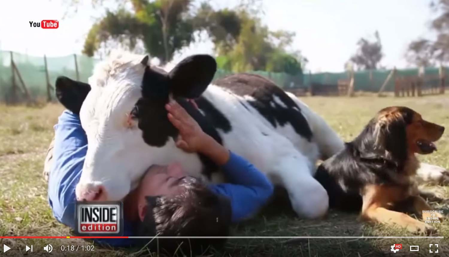 Cows have feelings